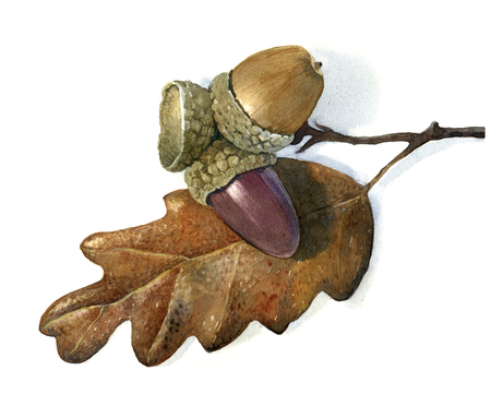 dry leaf: Acorns with dry leaf isolated on white, hand-painted watercolour illustration