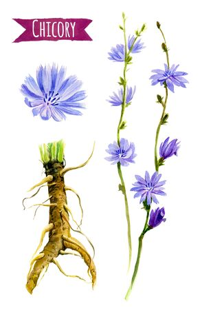 Chicory hand-painted watercolor set, clipping paths included