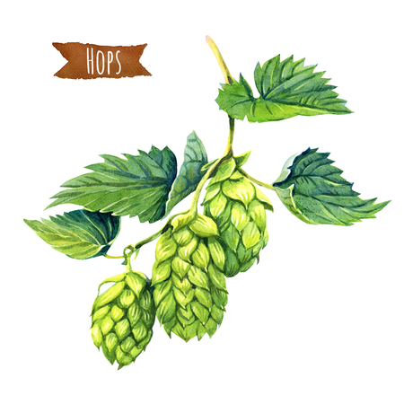 Watercolor illustration of hops vine isolated on white background with clipping path included