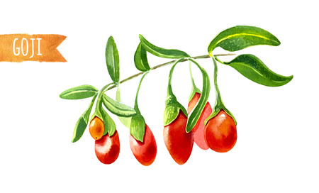 branch isolated: Watercolor illustration of goji berries isolated on white background with clipping path included
