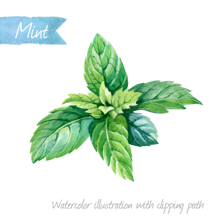 Watercolor illustration of fresh peppermint leaves isolated on white background with clipping path included Reklamní fotografie