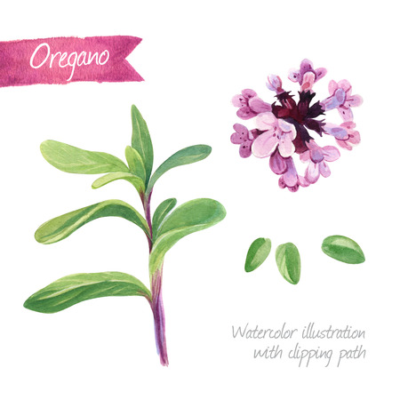 Watercolor illustration of oregano plant and flower isolated on white background with clipping path included Stock Photo