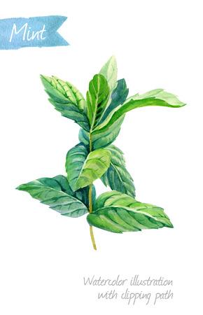 クリッピング パスを含めるを白い背景上に孤立でペパーミントの植物の水彩イラスト 写真素材