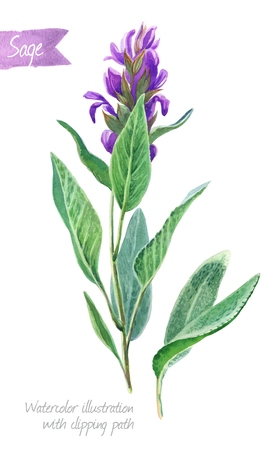 Watercolor illustration of fresh sage plant with flowers and leaves isolated on white background with clipping path included Banque d'images