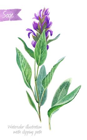 Illustrazione dell'acquerello della pianta di salvia fresca con i fiori e le foglie isolati su fondo bianco con il percorso di ritaglio incluso Archivio Fotografico - 79023137