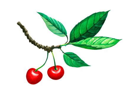 Sweet cherry twig with berries and leaves isolated on white background watercolor illustration with clipping path included Stock Photo