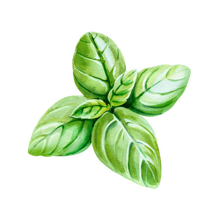 Watercolor illustration of fresh Basil leaves isolated on white background with clipping path included