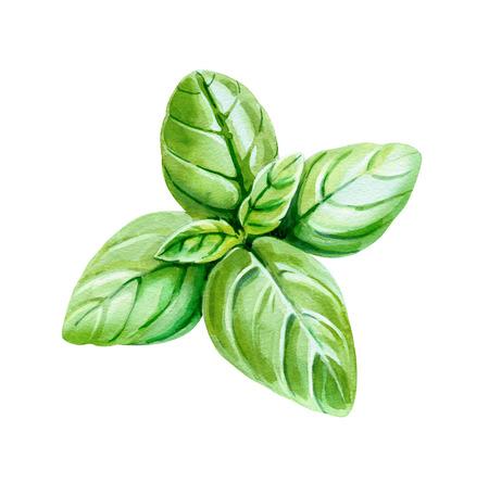 Ilustración de acuarela de hojas frescas de albahaca aisladas sobre fondo blanco con saturación camino incluido