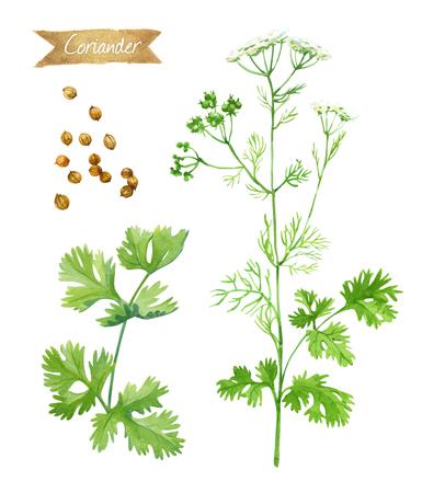 新鮮なコリアンダー植物の花、葉、種子が含まれているクリッピング パスを白い背景上に孤立の水彩イラスト