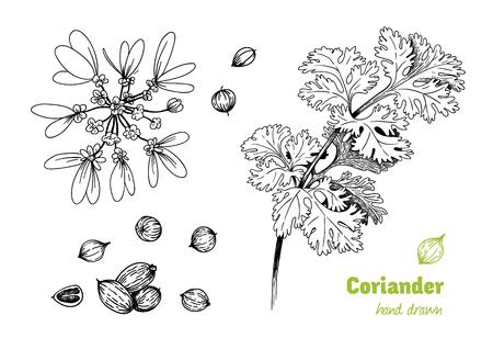 Detaillierte Hand gezeichnet Vektor-Illustration von Koriander Pflanze mit Blumen, Blätter und Samen.