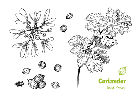 Illustrazione disegnata a mano dettagliata di vettore della pianta di coriandolo con fiori, foglie e semi.