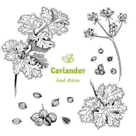 Illustrazione disegnata a mano dettagliata di vettore della pianta di coriandolo con fiori, foglie e semi. Vettoriali