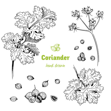 Detailed hand drawn vector illustration of Coriander plant with flowers, leaves and seeds.