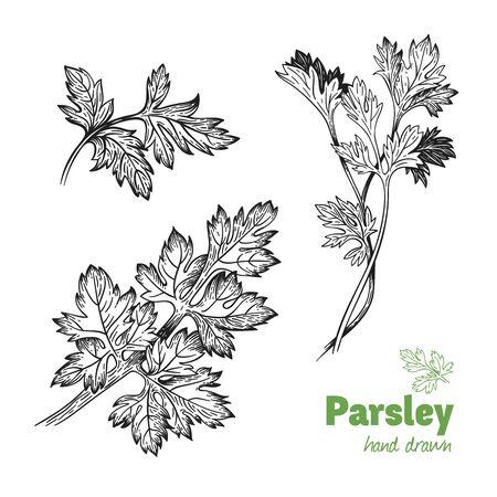Szczegółowe ręcznie rysowane ilustracji wektorowych roślin pietruszki Ilustracje wektorowe