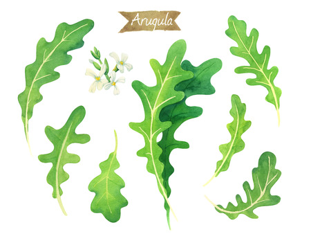 Watercolor illustration of fresh Arugula leaves  isolated on white background with clipping paths included Stock Photo