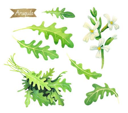 新鮮なルッコラの水彩イラストの葉、花や含まれているクリッピング パスを白い背景上に孤立バンチ