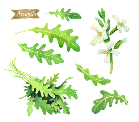 Watercolor illustration of fresh arugula leaves, flowers and bunch isolated on white background with clipping paths included Stock Photo