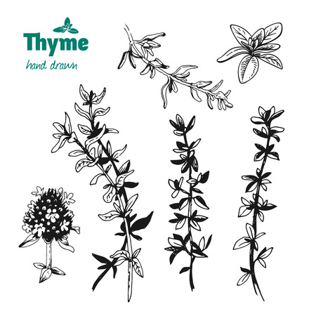 Detailed hand drawn vector illustration of thyme plant with flowers and leaves isolated on white background Illustration