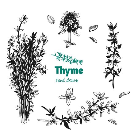 Detailed hand drawn vector illustration of thyme plant with flowers and leaves isolated on white background Ilustrace
