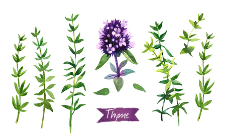 Watercolor illustration of fresh Thyme twigs and flowers on white background with clipping paths included