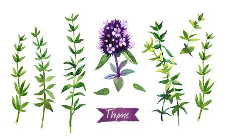 Waterverfillustratie van verse Thymetakjes en bloemen op witte achtergrond met inbegrepen knippen wegen Stockfoto