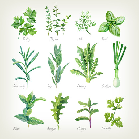 Watercolor collection of culinary herbs isolated on white background with clipping path included. Parsley, thyme, dill, basil, rosemary, sage, chicory, scallion, mint, arugula, oregano, cilantro. Stockfoto