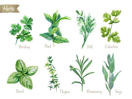 Collection aquarelle d'herbes culinaires isolé sur fond blanc avec un tracé de détourage inclus. Persil, thym, aneth, basilic, romarin, sauge, menthe, coriandre. Banque d'images - 88300977