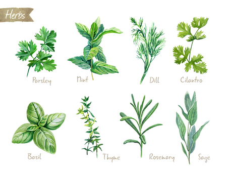 Watercolor collection of culinary herbs isolated on white background with clipping path included. Parsley, thyme, dill, basil, rosemary, sage, mint, cilantro.