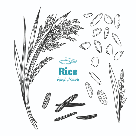 Detailed hand drawn vector black and white illustration of rice seeds and straw Ilustracja