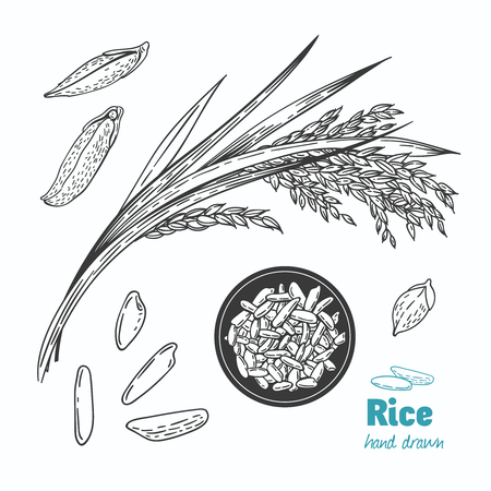Detailed hand drawn vector black and white illustration of rice seeds and straw Vettoriali
