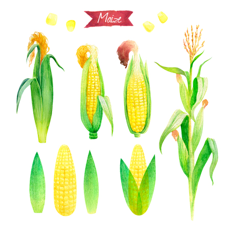 Watercolor illustration of fresh maize plant with flowers and leaves, ears and seeds isolated on white background with clipping paths included Stock Photo