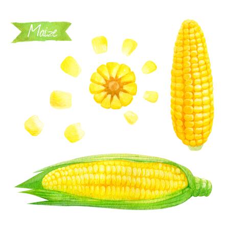 신선한 옥수수 귀와 씨앗 포함 클리핑 패스와 함께 흰색 배경에 고립의 수채화 그림