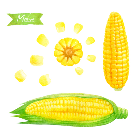 Watercolor illustration of fresh maize ears and seeds isolated on white background with clipping paths included