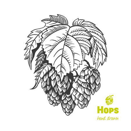 Detailed hand drawn vector black and white illustration of hops with leaves
