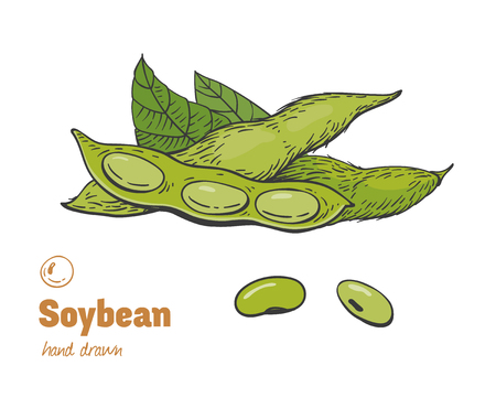 Detailed hand drawn vector color illustration of green soya beans, pods and leaves. Ilustração