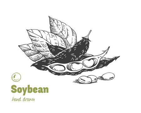 Detailed hand drawn vector black and white illustration of green soya beans, pods and leaves Ilustração