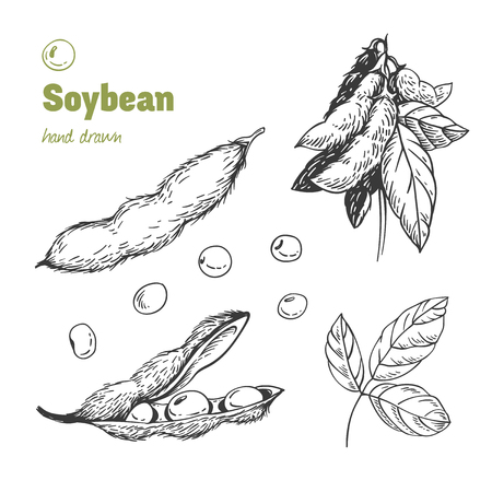 Detailed hand drawn vector black and white illustration of green soya beans, pods and leaves Ilustracja