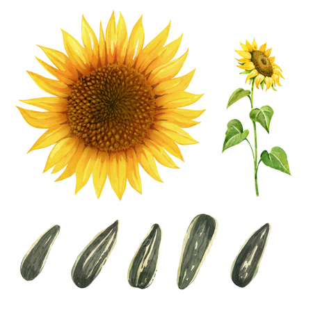 Hand painted watercolor illustration of yellow sunflower and ripe seeds isolated on white background Imagens