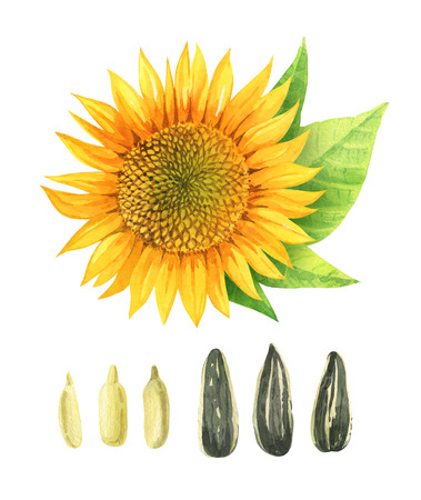 Hand painted watercolor illustration of yellow sunflower with leaves and seeds isolated on white background