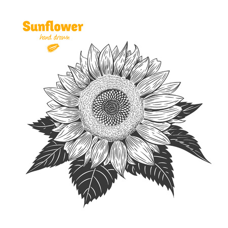 Detailed hand drawn vector black and white illustration of Sunflower with leaves