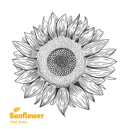 Detailed hand drawn vector black and white illustration of Sunflower Illustration