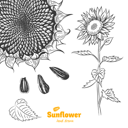 Detailed hand drawn vector black and white illustration of Sunflower plant with flower, leaves and seeds