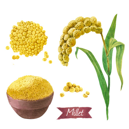 Watercolor illustration of millet plant with leaves and seeds isolated on white background with clipping paths included