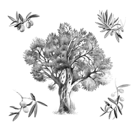 Pencil black and white illustraton of olive tree with fruits, leaves and branches