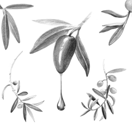 Pencil black and white illustraton of olives with leaves and branches