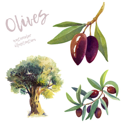 Olives on branch with leaves and olive tree painted background. Imagens