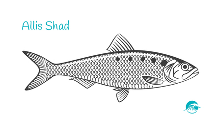Detailed hand drawn vector black and white illustration of Allis Shad fish Иллюстрация