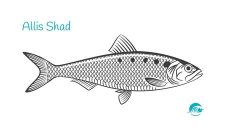 Illustration vectorielle détaillée dessinée à la main en noir et blanc du poisson Allis Shad