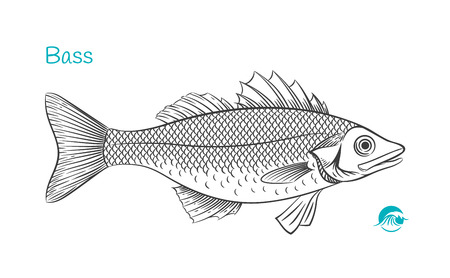 Detailed hand drawn vector black and white illustration of Bass fish