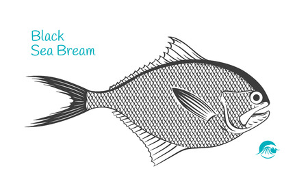 Detailed hand drawn vector black and white illustration of Black Sea Bream